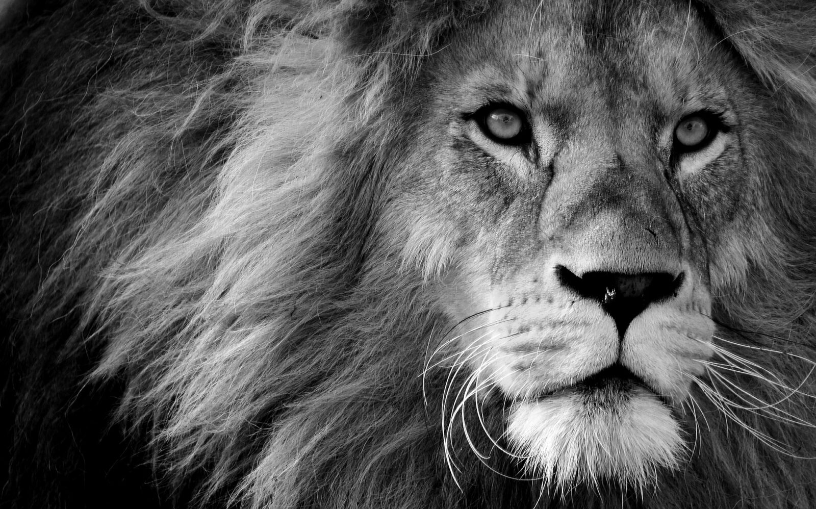 Wildlife photography, lion